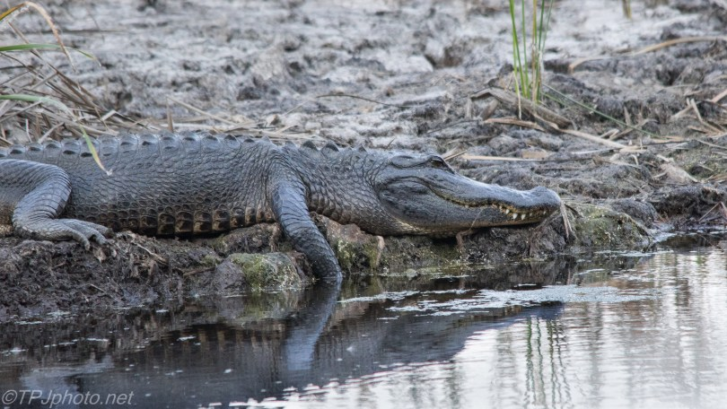 American Alligator - Click To Enlarge