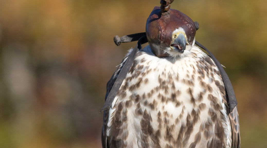 Falconry / Saker Falcon - Click To Enlarge