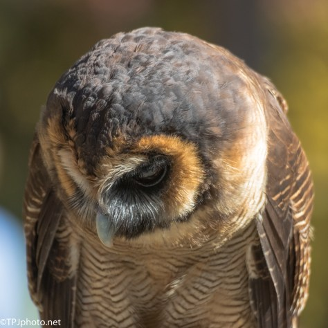 Portrait, Wood Owl - Click To Enlarge