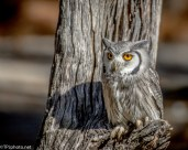 Southern White-faced Scops Owl - Click To Enlarge