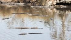 Alligator Crowd - Click To Enlarge