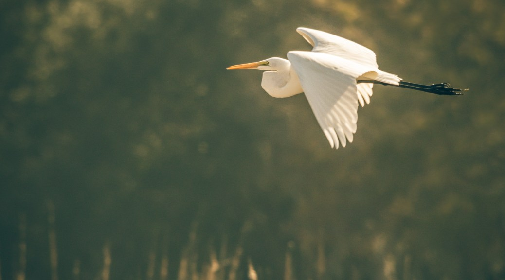 Great Egret Low Over Marsh - Click To Enlarge