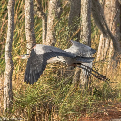Fly By, Great Blue Heron - Click To Enlarge