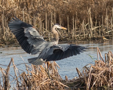 Great Blue Heron Landing In The Wind - Click To Enlarge