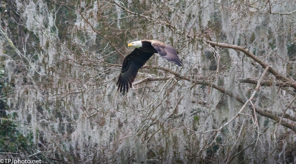 Bald Eagle And Spanish Moss - Click To Enlarge