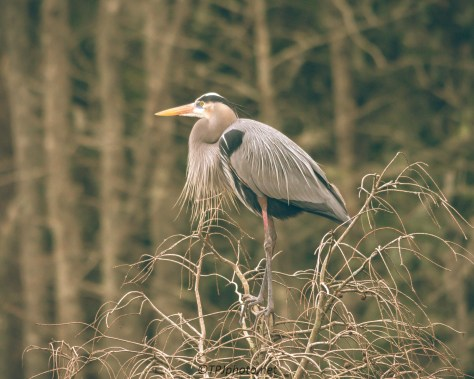Heron On Guard Of The Nest - Click To Enlarge