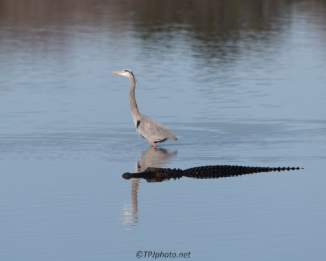 Heron And Alligator - Click To Enlarge