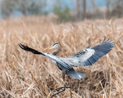 Heron Flying To The Reeds - Click To Enlarge