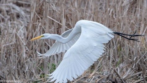 Close Encounter Great Egret - Click To Enlarge