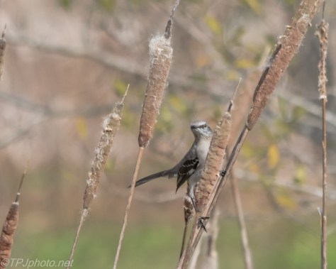 Cattails and Mockingbirds - Click To Enlarge