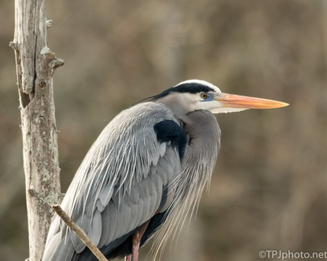 Great Blue Portrait - Click To Enlarge