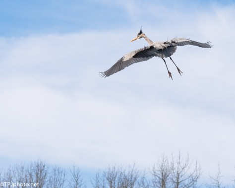 Heron Trying To Land - Click To Enlarge