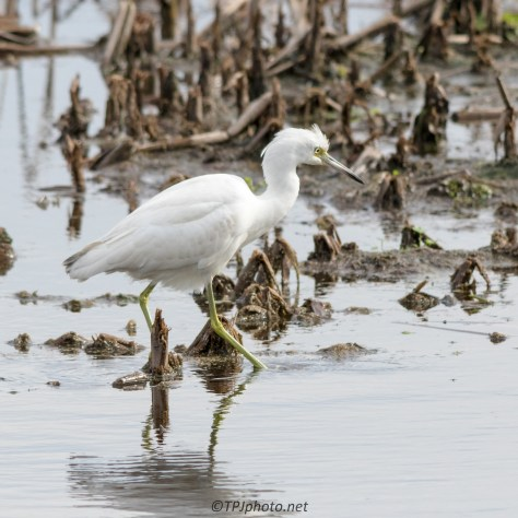 Serious Young Little Blue Heron - Click To Enlarge