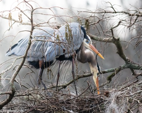 Great Blue Heron Pair - Click To Enlarge