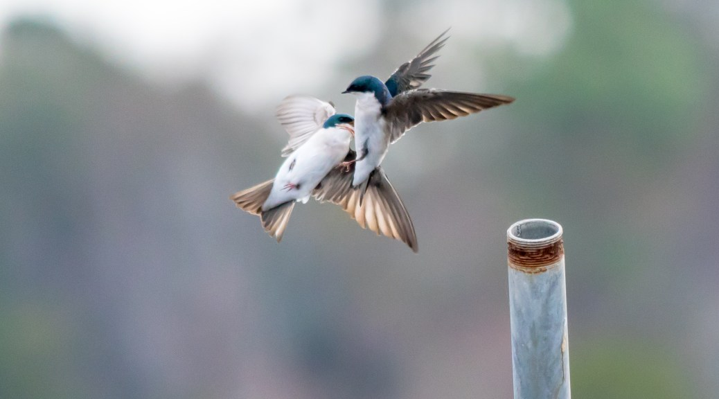 Swallows Meeting - Click To Enlarge