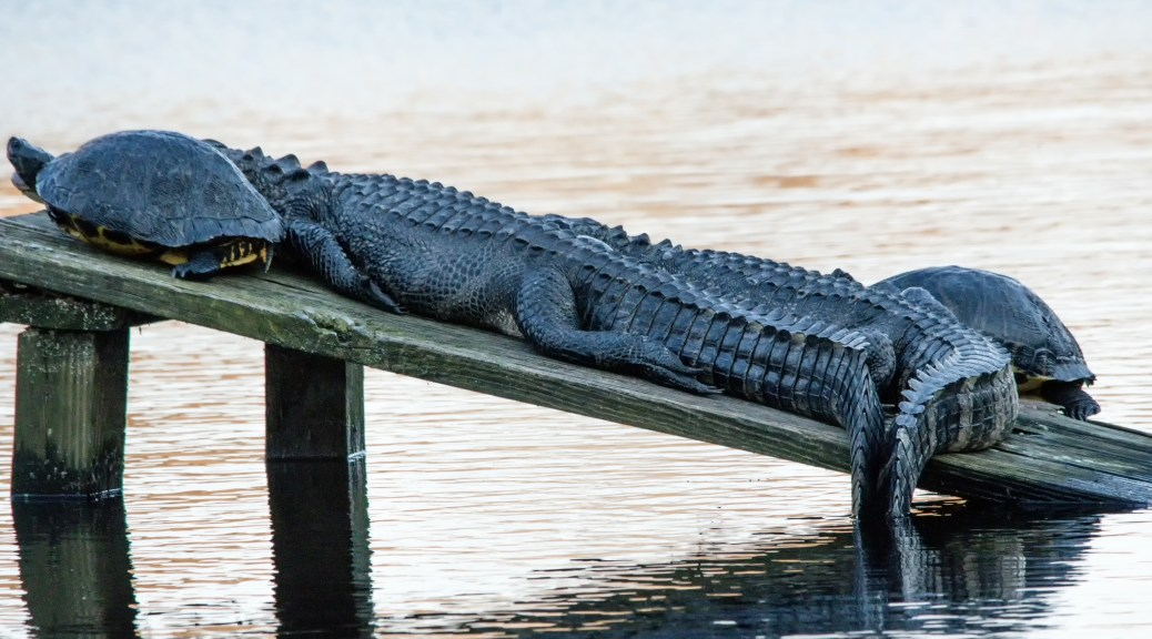 Alligator, Must Have Been A Hell Of A Party - Click To Enlarge