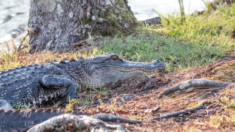 Two Alligators Guarding The Trail - Click To Enlarge