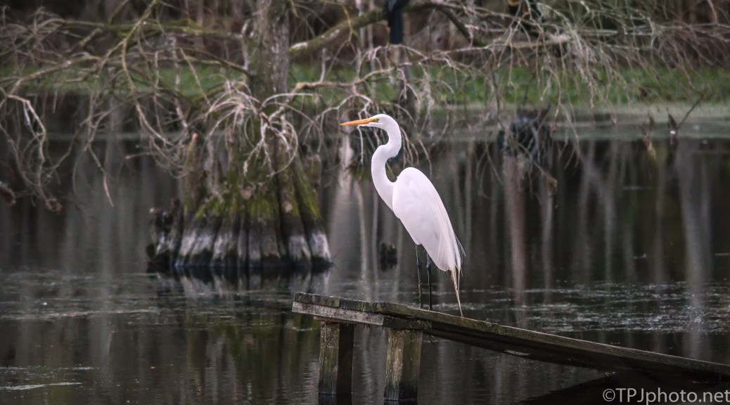 Great Egret Resting, In Low Light- Click To Enlarge