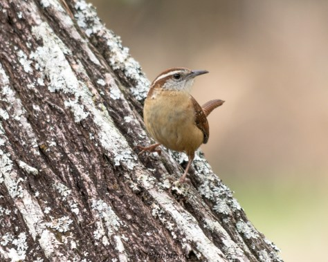 Carolina Wren - Click To Enlarge