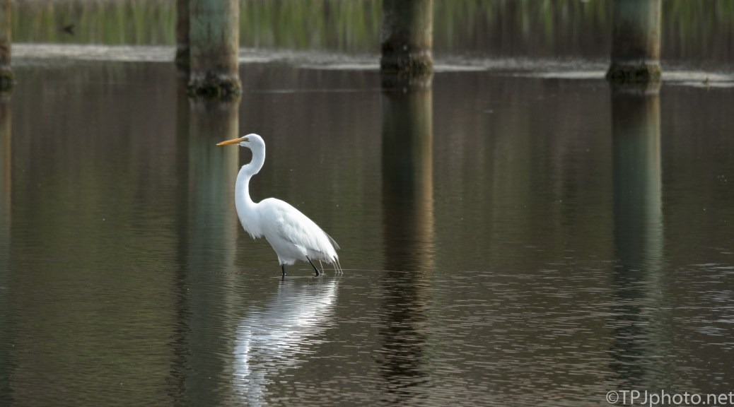 Egret Near A Marsh Pier - Click To Enlarge