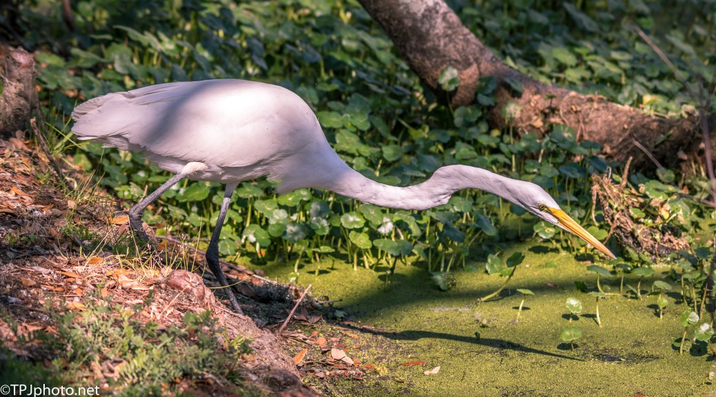 Great Egret Stalking - Click To Enlarge