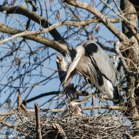 Great Blue Heron Young - Click To Enlarge