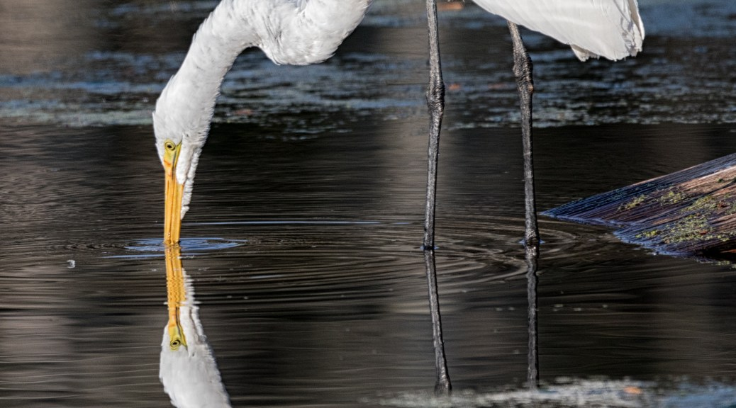 Egret Touching A Reflection - Click To Enlarge