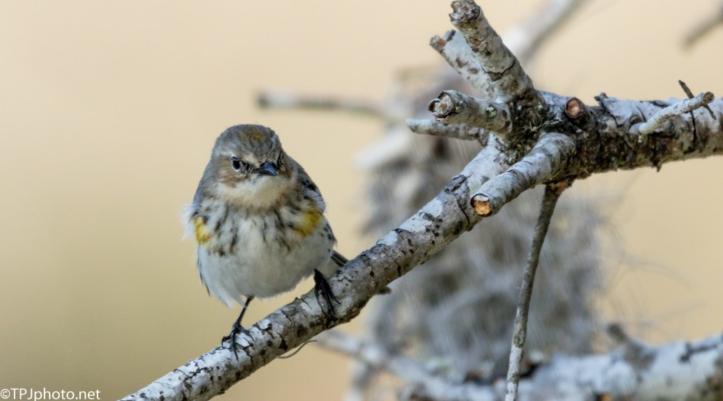 A Yellow-rumped Warbler - Click To Enlarge