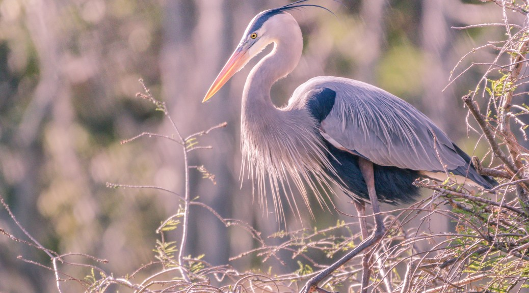 Great Blue Heron On Top Of The Nest - Click To Enlarge