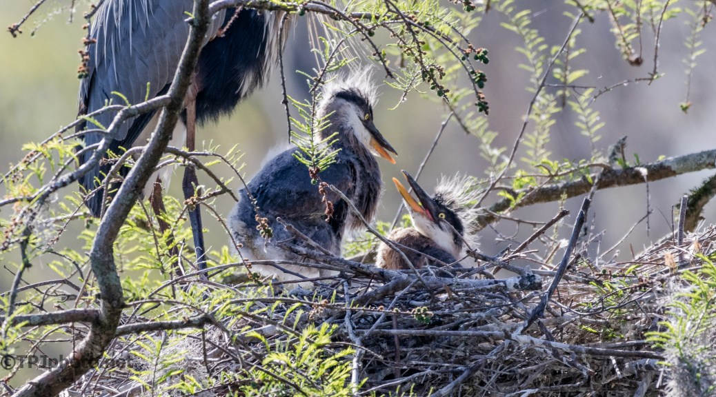 Tale Of Two Herons - Click To Enlarge
