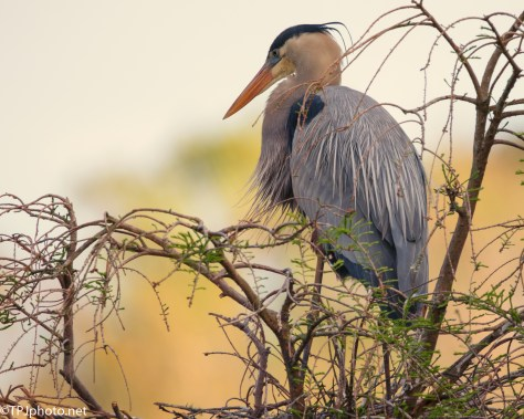 Brilliant Sunset, Great Blue Heron - Click To Enlarge