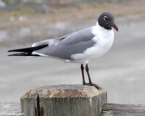 Laughing Gull - Click To Enlarge