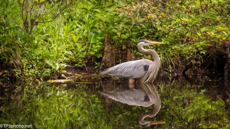 Heron Reflections - Click To Enlarge