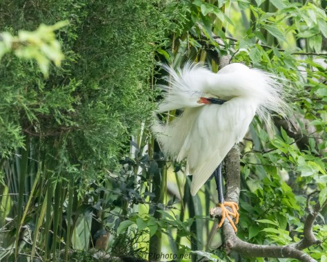 Snowy Egret Turing Inside Out - Click To Enlarge