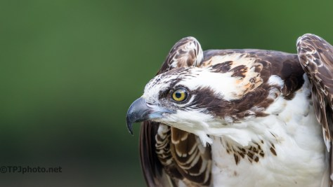 Osprey At 500 mm - Click To Enlarge