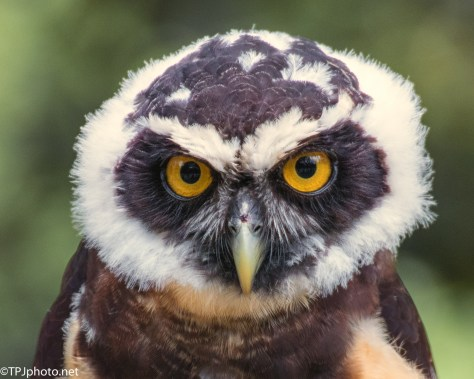 Head Shot Spectacled Owl - Click To Enlarge