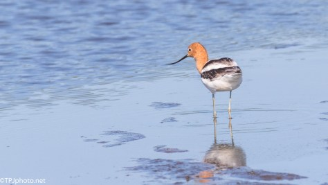 American Avocet - Click To Enlarge