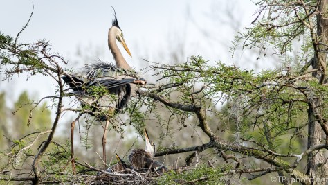 Tale Of Two Herons, Rescue - Click To Enlarge