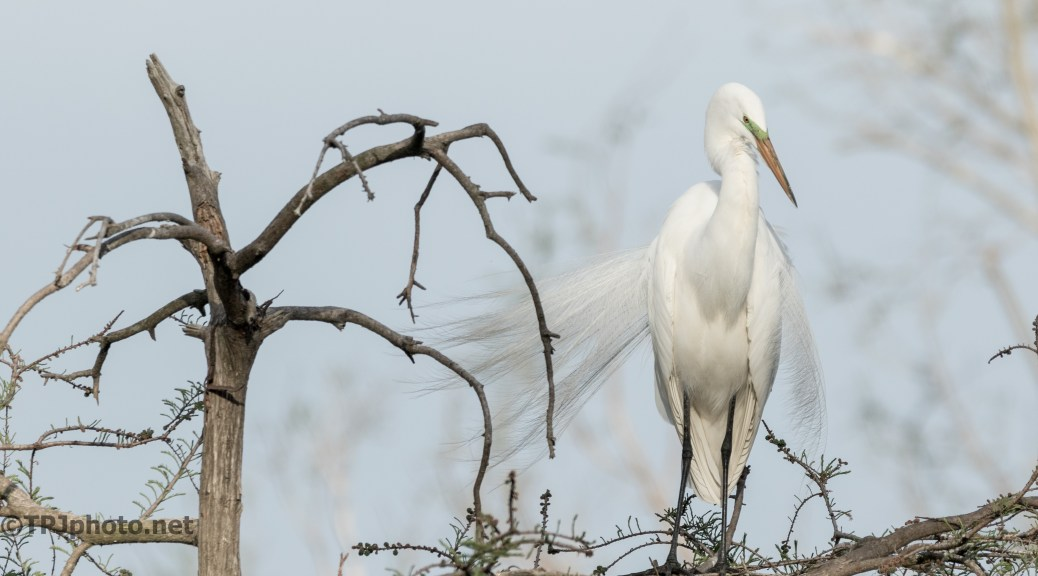 Great Egret Standing Guard - Click To Enlarge