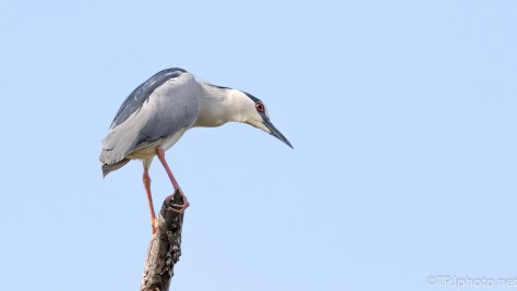Blacked-crowned Night Heron Going Out On A Limb - Click To Enlarge