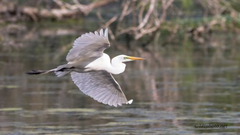 Great Egret Swamp Fly By - Click To Enlarge