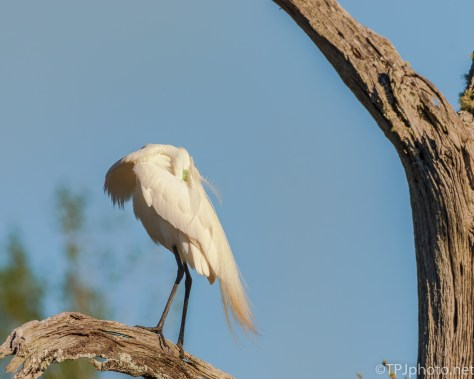 Simple Photograph, Egret Preening - Click To Enlarge