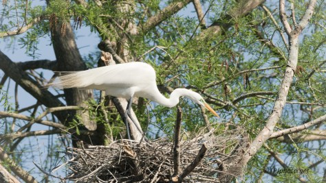 Great Egret, Nest Thief - Click To Enlarge