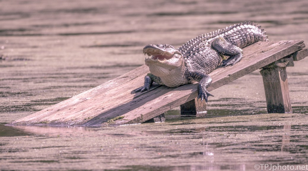 Alligator, Not Happy With Company - Click To Enlarge