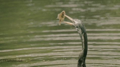 Now What, Anhinga - Click To Enlarge