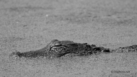 Alligator In Black And White - Click To Enlarge