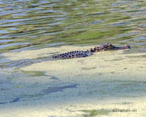 A few Local Alligators - Click To Enlarge