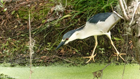 Black-crowned Night Heron Focused On Fish - Click To Enlarge