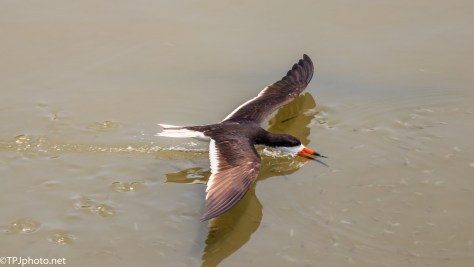 Black Skimmer And A School Of Fish - Click To Enlarge