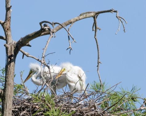 Young Great Egrets - Click To Enlarge
